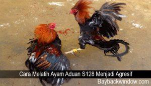 Cara Melatih Ayam Aduan S128 Menjadi Agresif