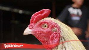Cara Umum Tumbuhkan Mata Ayam S128