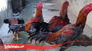 Cara Umum Untuk Ternak Ayam Bangkok Super