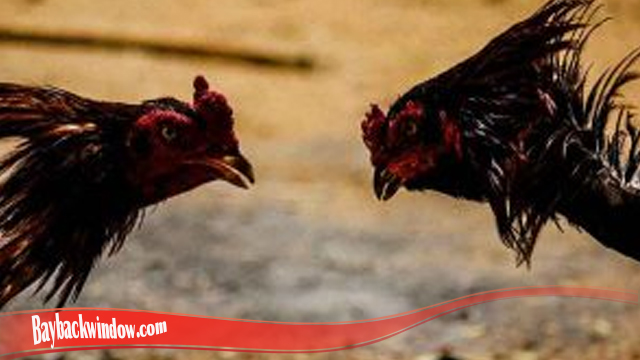 Cara Umum Untuk Tingkatkan Mental Ayam