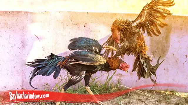 Rahasia Umum Teknik Bongkar Ayam Bangkok