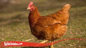 Sifat Umum Dari Habitat Ayam