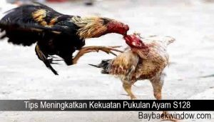 Tips Meningkatkan Kekuatan Pukulan Ayam S128